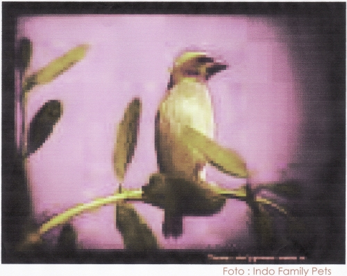 Burung Tempua